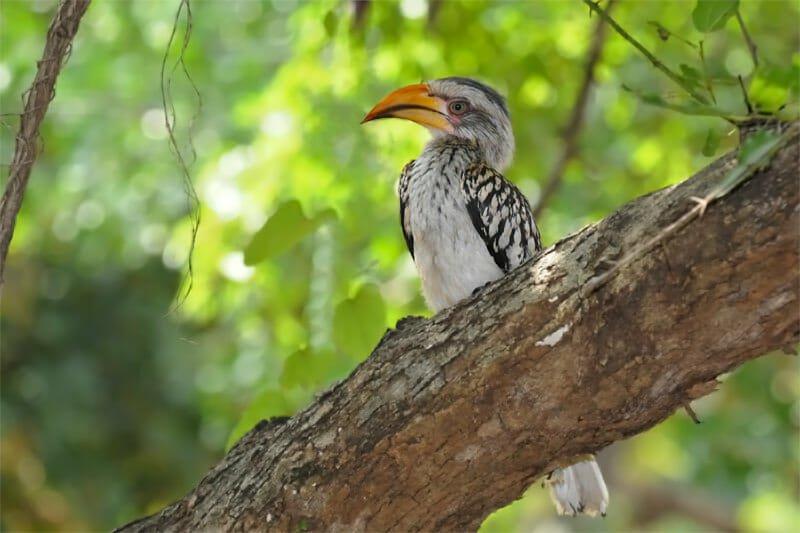 Yellow-bill hornbill