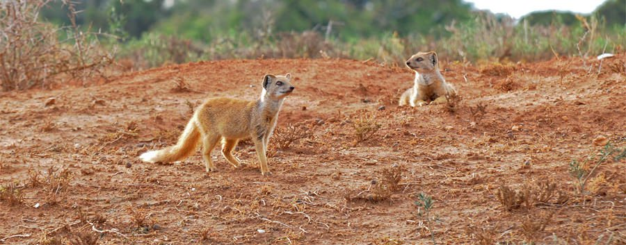 Yellow mongooses at Addo Elephant Park