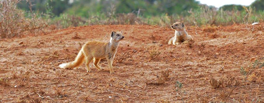 Yellow mongooses
