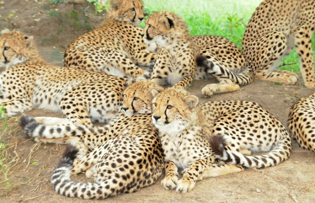 Cheetah cubs at HESC