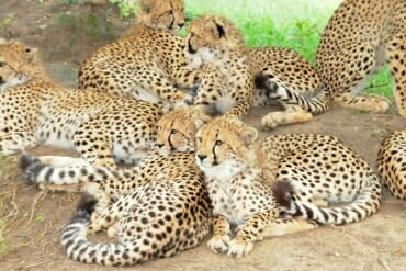 HESC and Kapama Reserve: cheetah cubs
