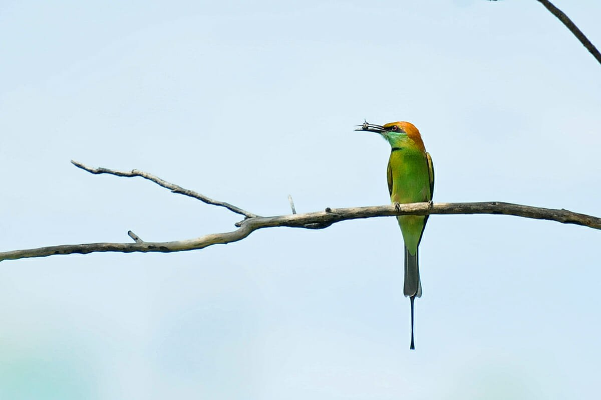 Green bee-eater western forest complex