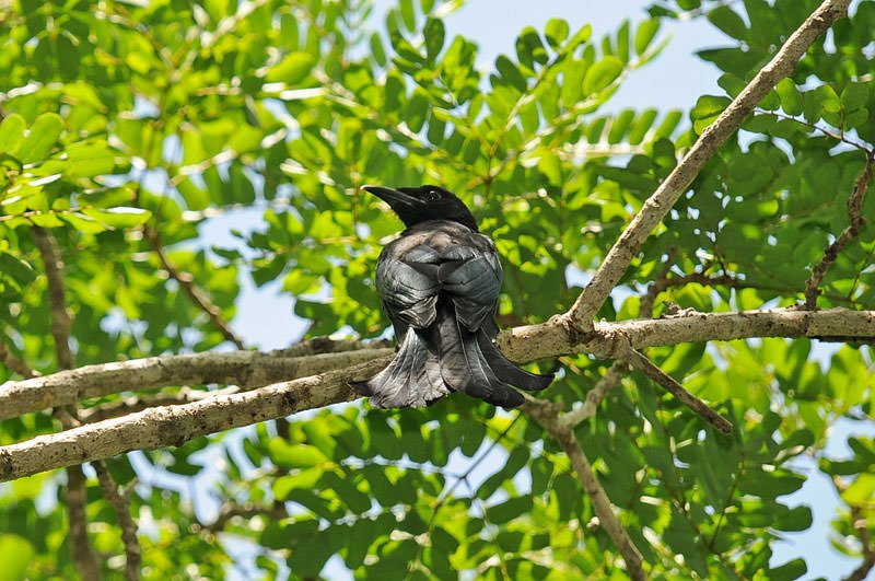Sprangled drongo