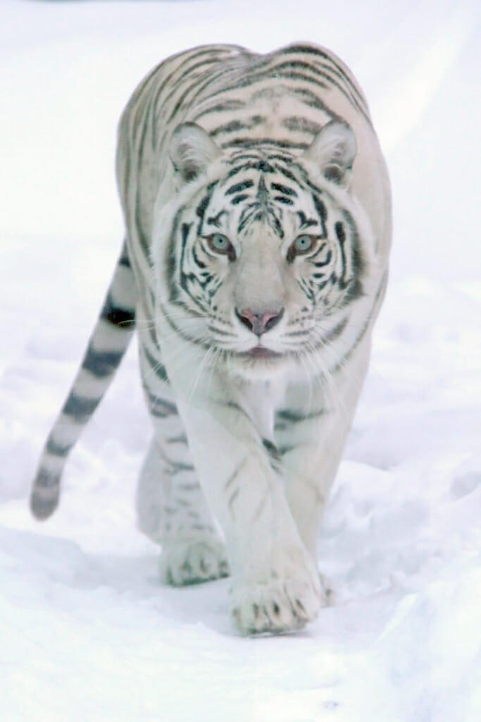 White tigress in Moscow zoo in winter