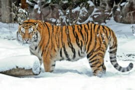 Siberian tiger at Moscow zoo