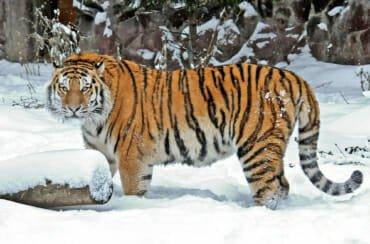 Siberian tiger at Moscow zoo