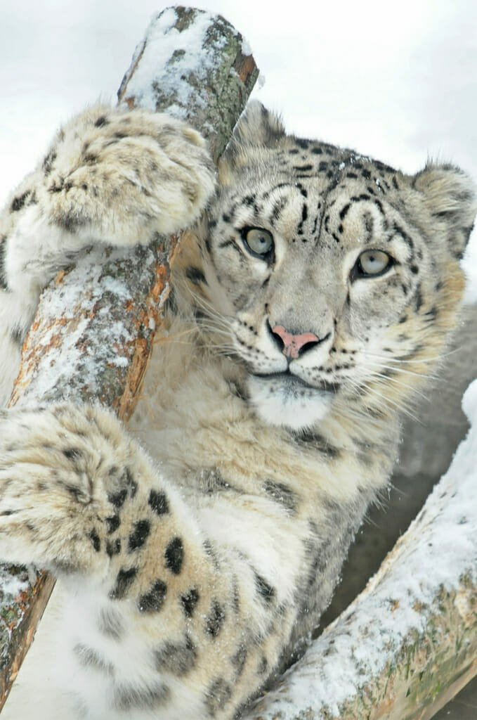 Snow leopard in Moscow zoo
