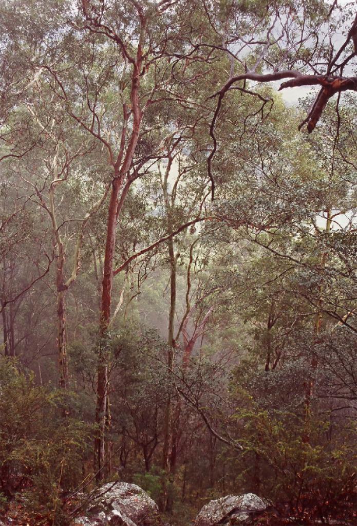 Eucalypts in Watagan Mountains