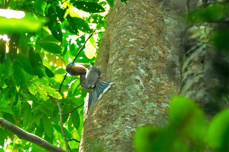 Brown hornbill at the nest
