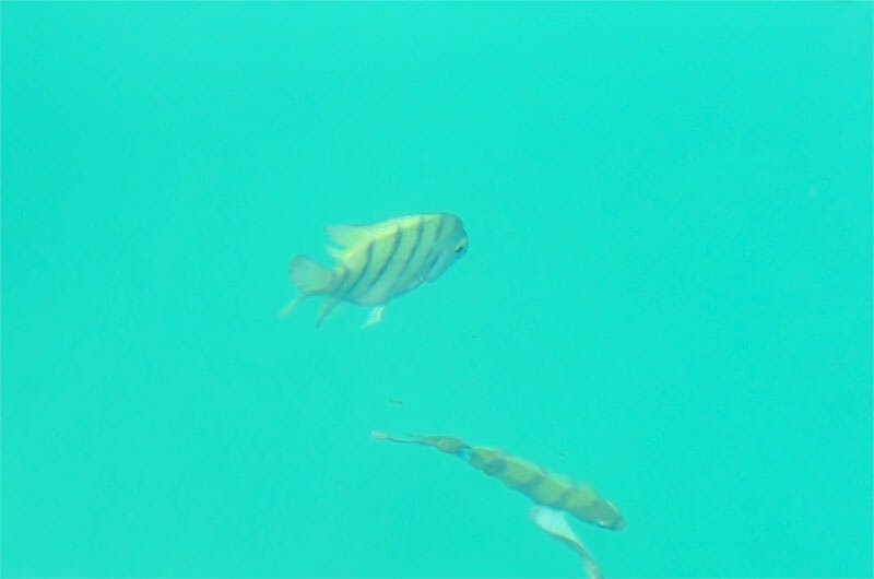 Wildlife watching in Mu Ko Chang - Sergeant major fish