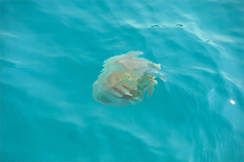 Wildlife watching in Mu Ko Chang - Jellyfish