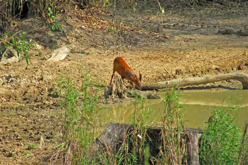 Wildlife watching in Kaeng Krachan - Barking deer
