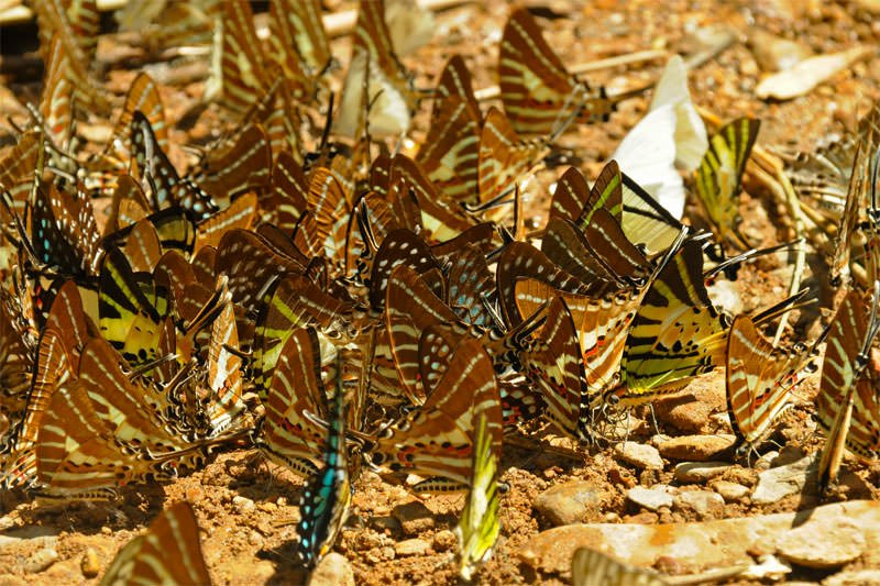 Butterflies in Khaeng Krachan National Park