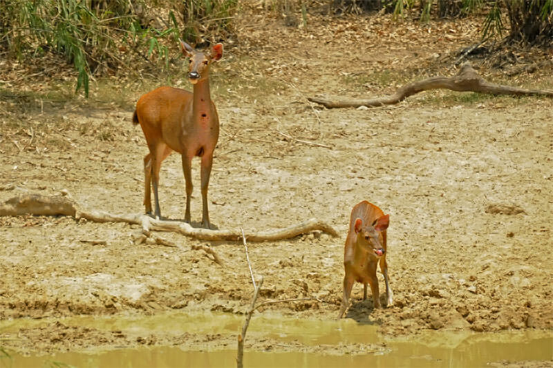 Wildlife watching in Kaeng Krachan - Sambar with a fawn