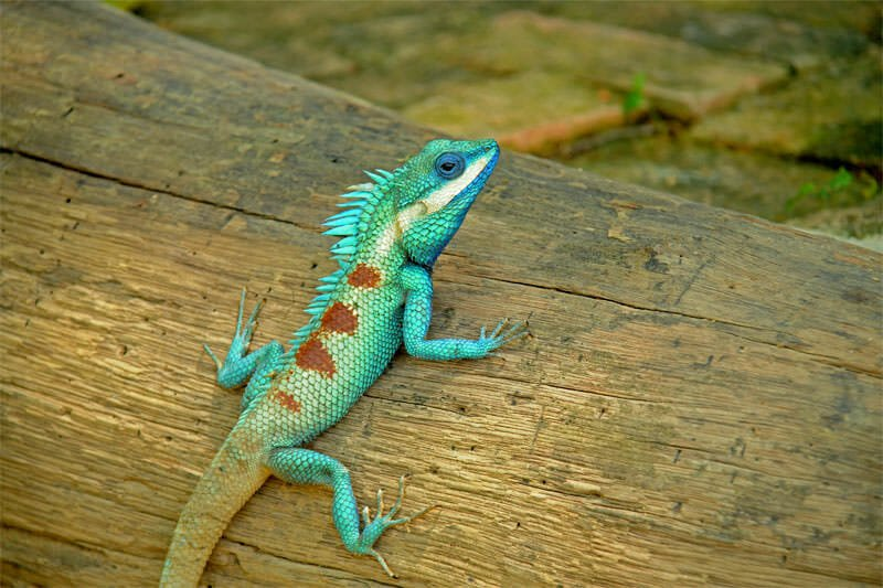 Wildlife watching in Kaeng Krachan - Blue-crested lizard