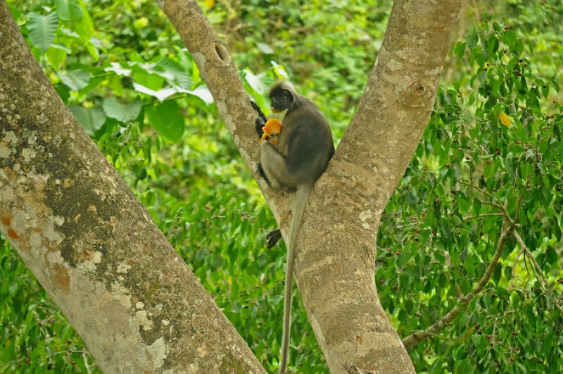 wildlife in Kaeng Krachan - Dusky langur female and a young