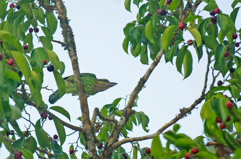 Wildlife watching in Kaeng Krachan - Green-eared barbet