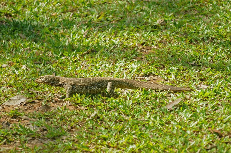 Wildlife watching in Kaeng Krachan - Rock monitor