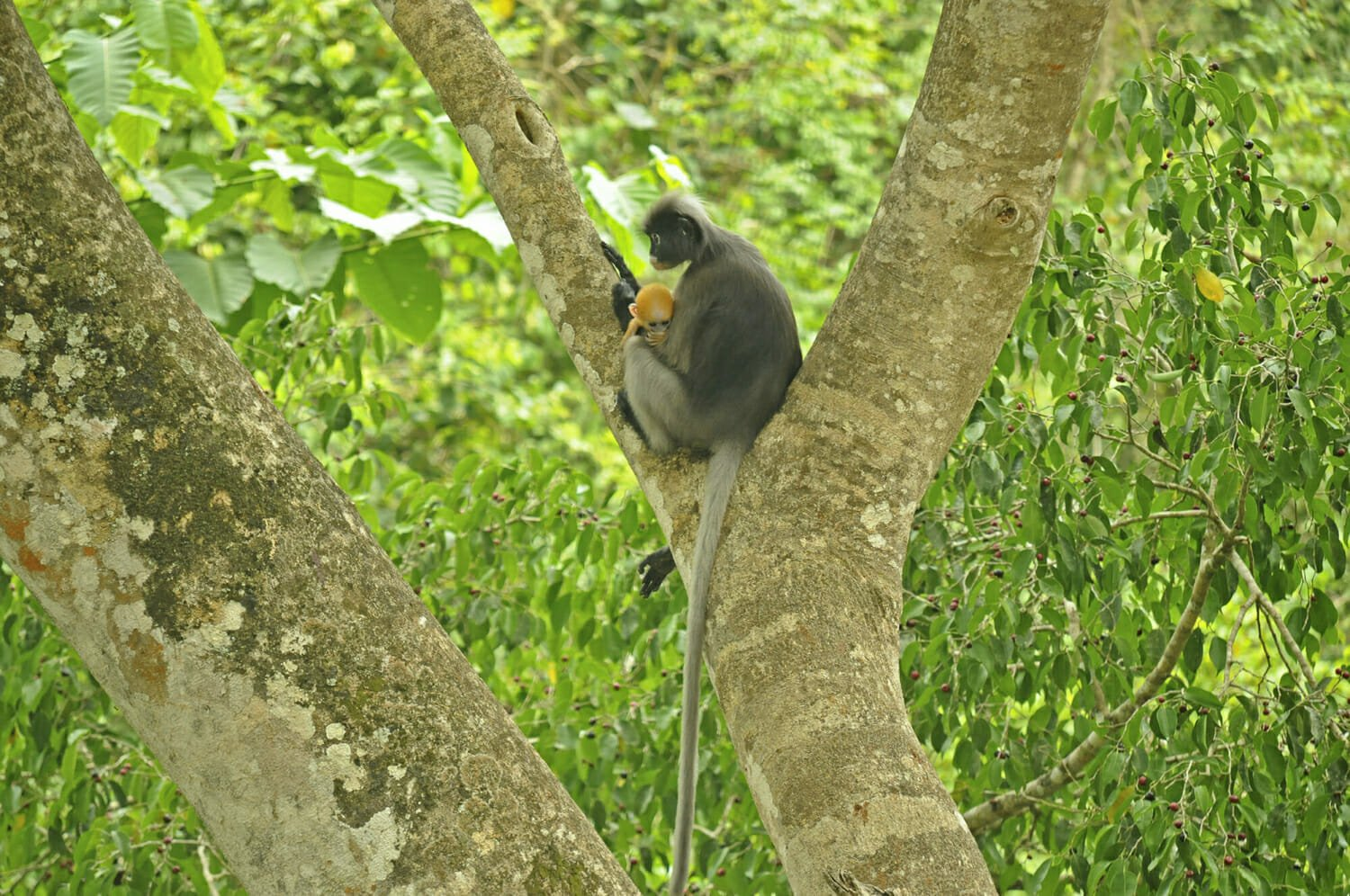 Wildlife watching in Kaeng Krachan - Dusky langur