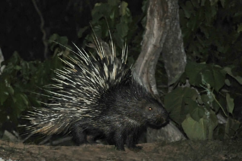 Wildlife watching in Kaeng Krachan - Malayan porcupine
