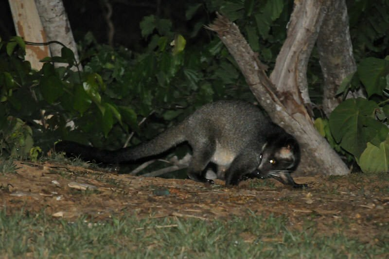 Wildlife watching in Kaeng Krachan - Masked palm civet