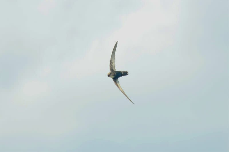 Wildlife watching in Mu Ko Chang - Pacific swift