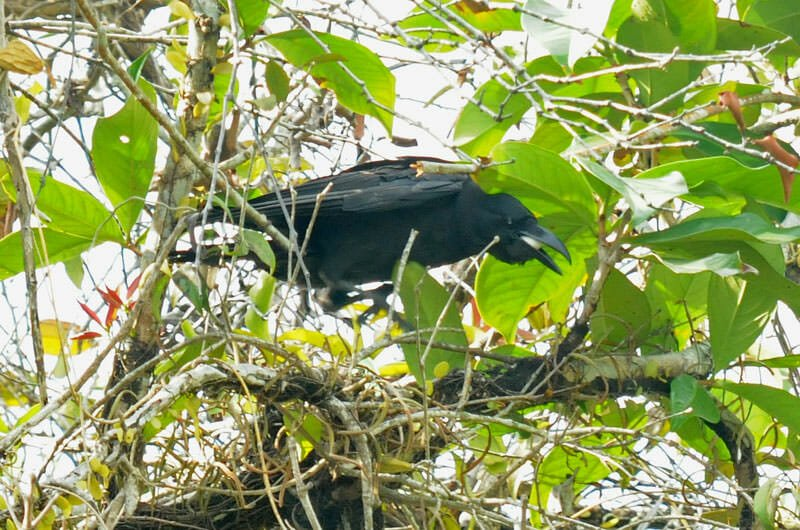 Wildlife watching in Mu Ko Chang - Crow stealing myna's egg