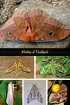 Moths of Thailand