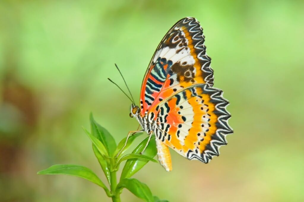 butterflies of Thailand - Malay lacewing