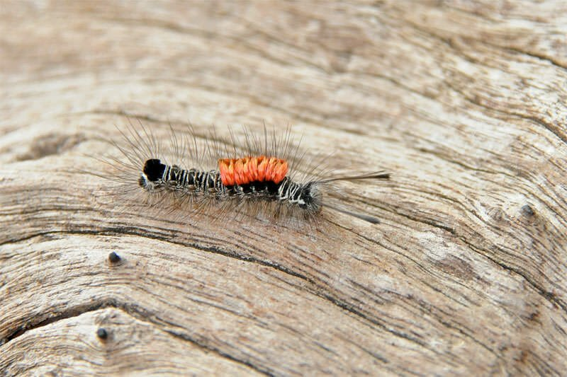 Tiger moth catepillar