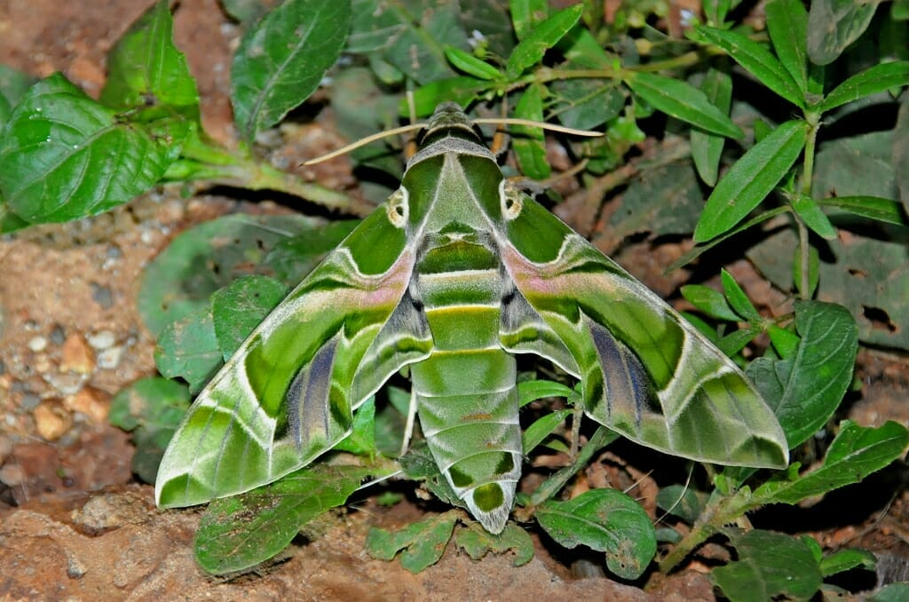 Moth's of Thailand - Oleander hawkmoth