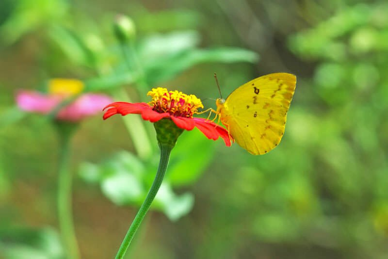 Butterflies of Thailand - Yellow immigrant
