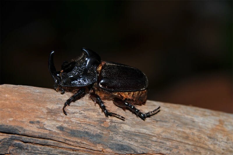 Rhinoceros fighting beetle
