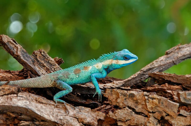 Blue-crested lizard