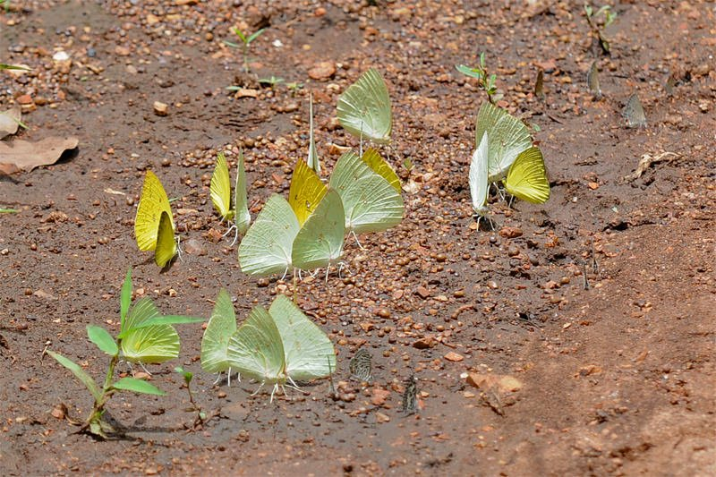 Butterflies congregating on a patch of wet ground