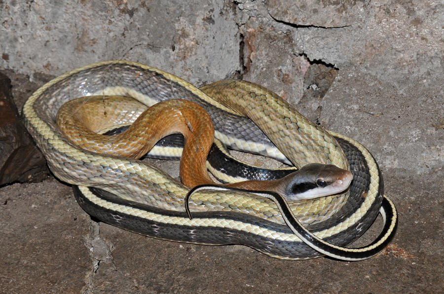 Cave-dwelling snake, Thailand