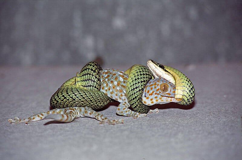 gecko-with-a-snake.jpg