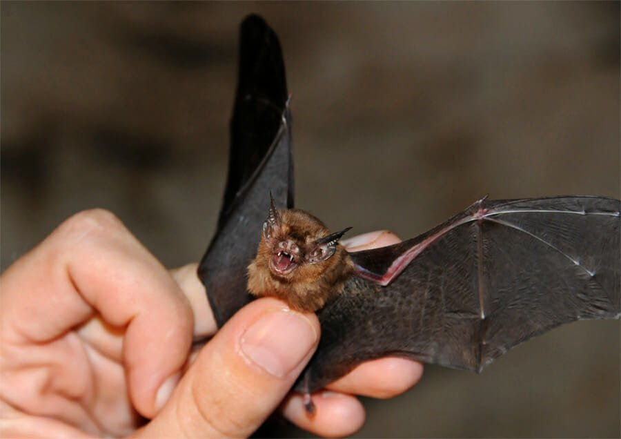 Kitti's Hog-nosed bat (juvenile male)