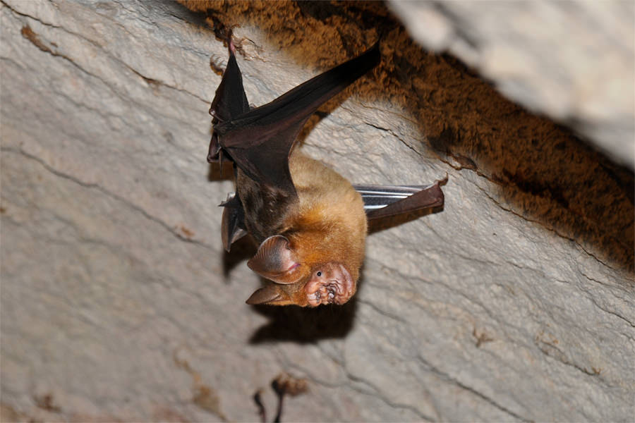 Intermediate roundleaf bat