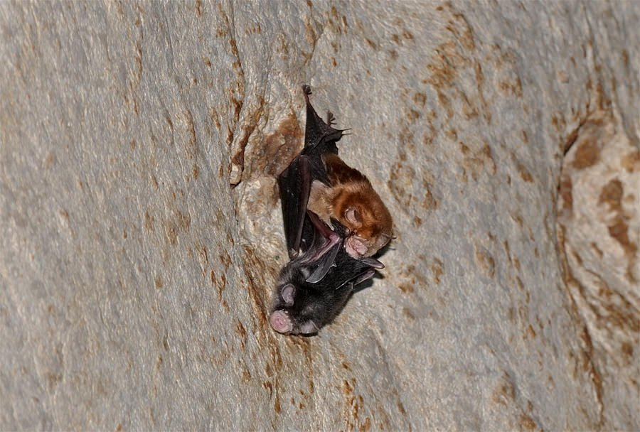 Trident roundleaf bat female with young