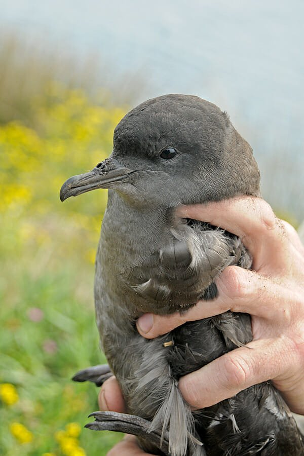 Short-tailed shearwater on Little Broughton island