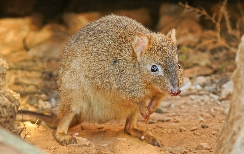 Mammals of Australian Outback - Brush-tailed bettong (Woylie)