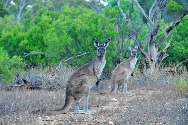 Mammals of Australian Outback - Western grey kangaroo