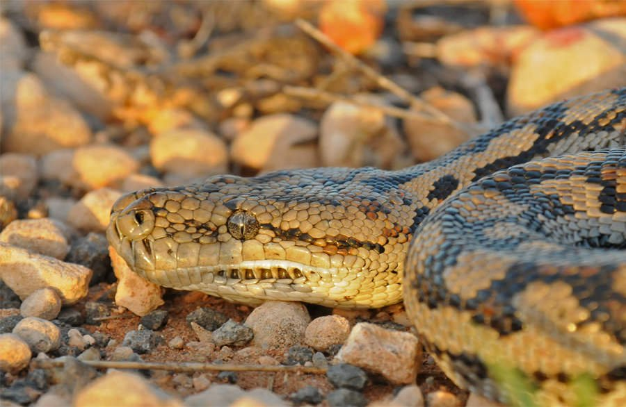 Reptiles of Australian Outback - Murray-Darling python