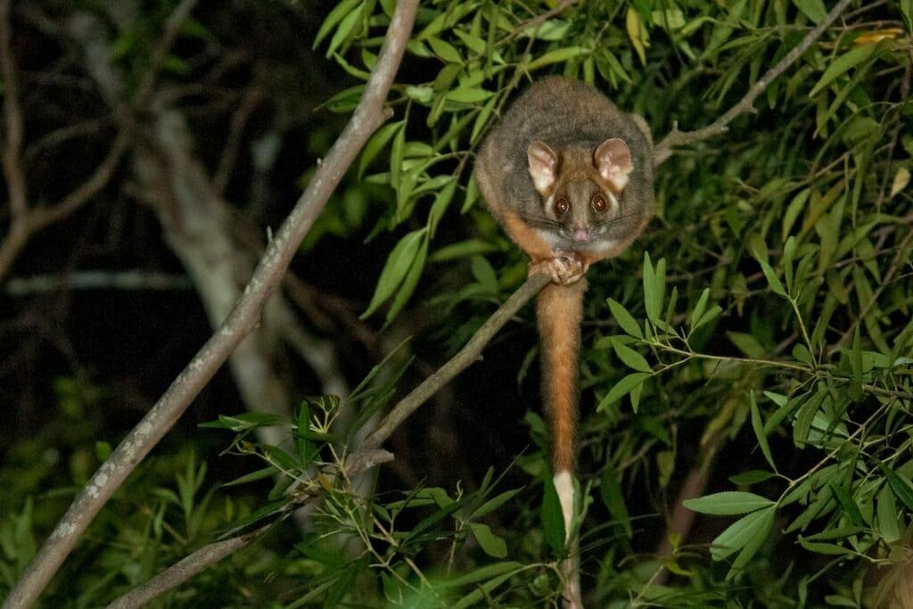 Wildlife in Sydney - Ringtail possum