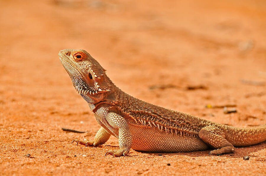 Reptiles of Australian Outback - Bearded dragon