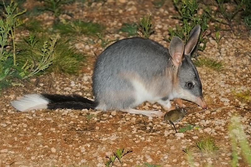 Mammals of Australian Outback - Bilby