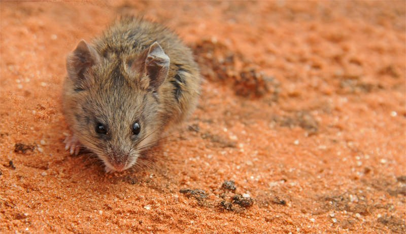 Mammals of Australian Outback - Bollam's mouse