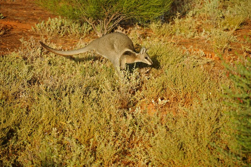 Mammals of Australian Outback - Bridled nailtail wallaby
