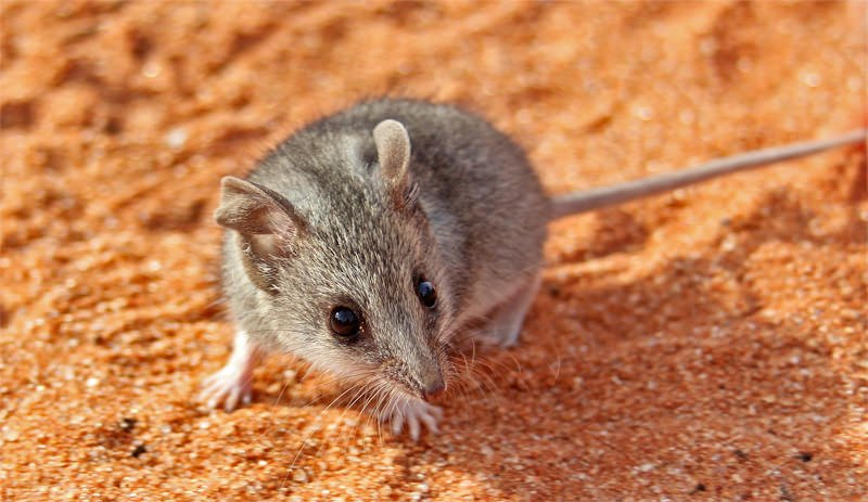 Mammals of Australian Outback - Common Dunnart